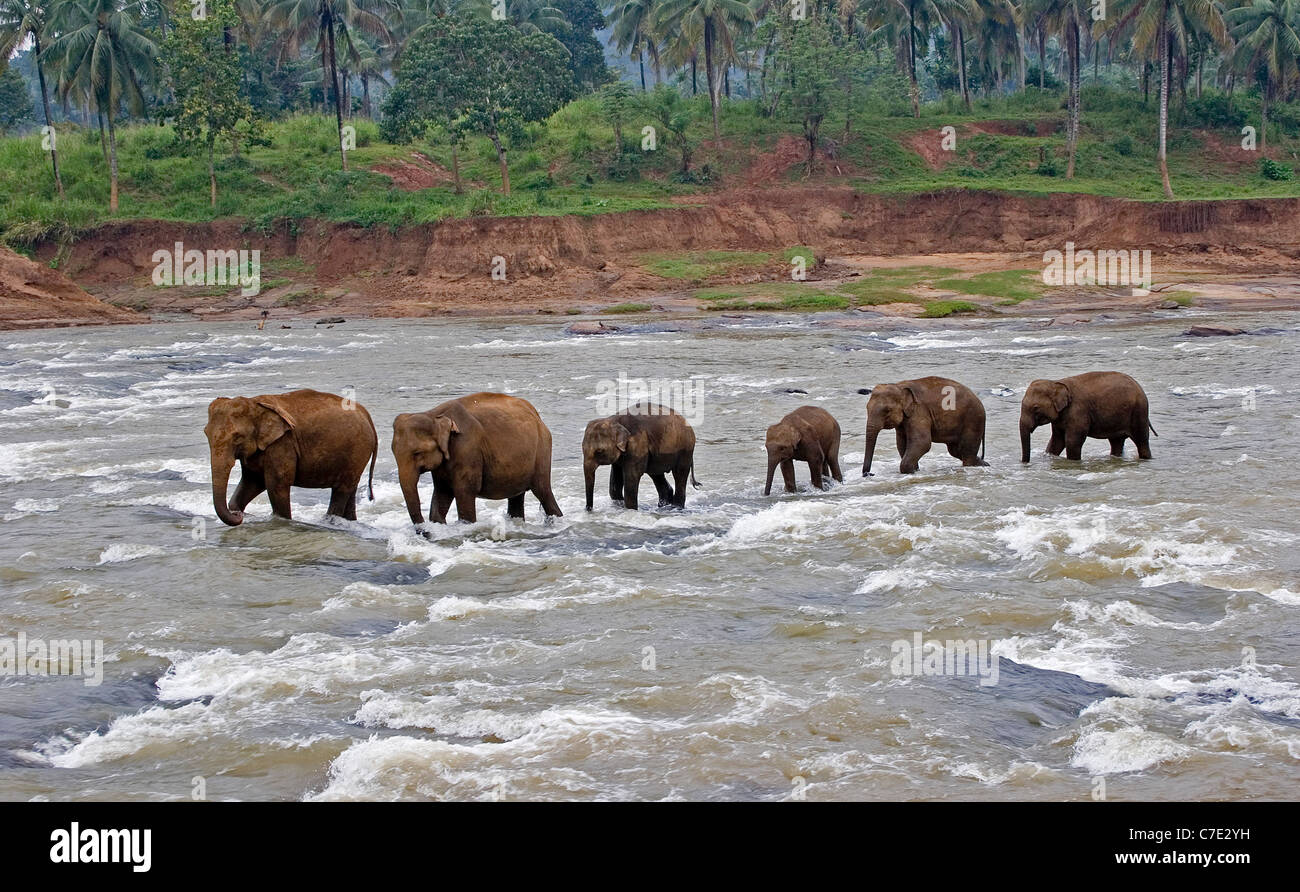 L'éléphant d'Asie Elephas maximus maximus Sri Lanka Photo Stock