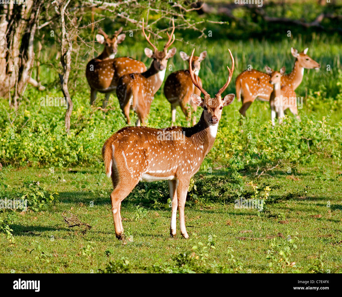 Spotted deer Axis axis Sri Lanka Photo Stock