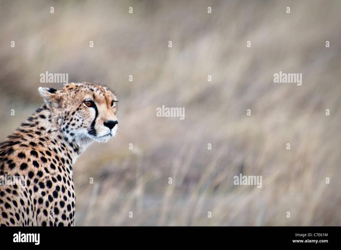 Le guépard, Acinonyx jubatus, à la recherche de proies, Masai Mara National Reserve, Kenya, Africa Banque D'Images