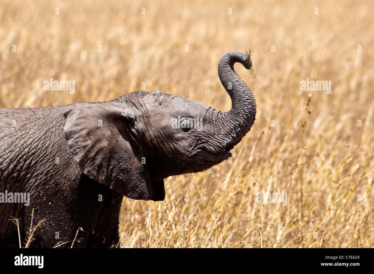 Bébé éléphant africain, Loxodonta africana, tronc soulevé, Masai Mara National Reserve, Photo Stock