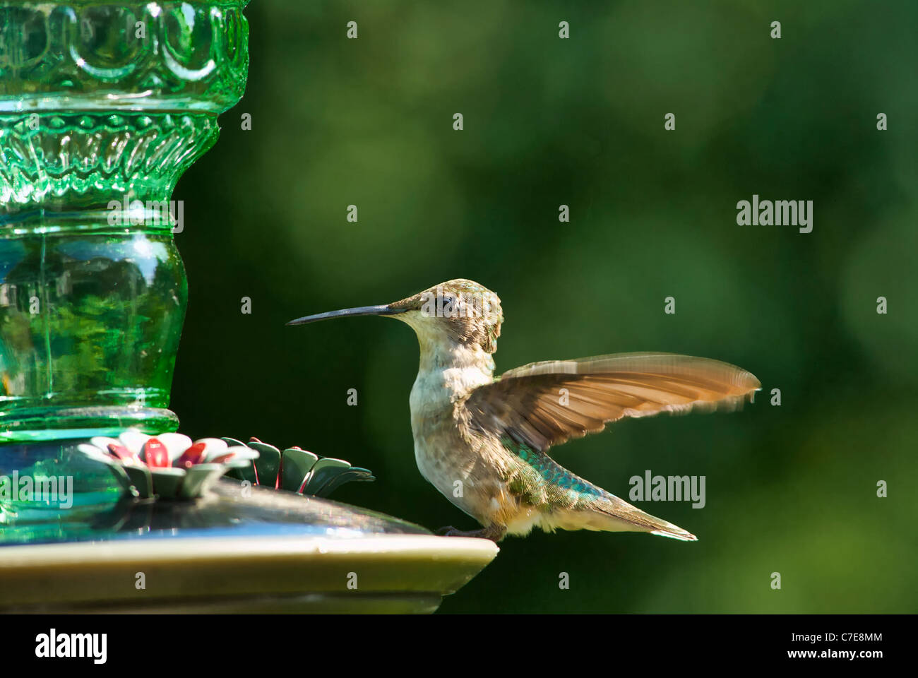 Humming Bird sur convoyeur en plein air Photo Stock