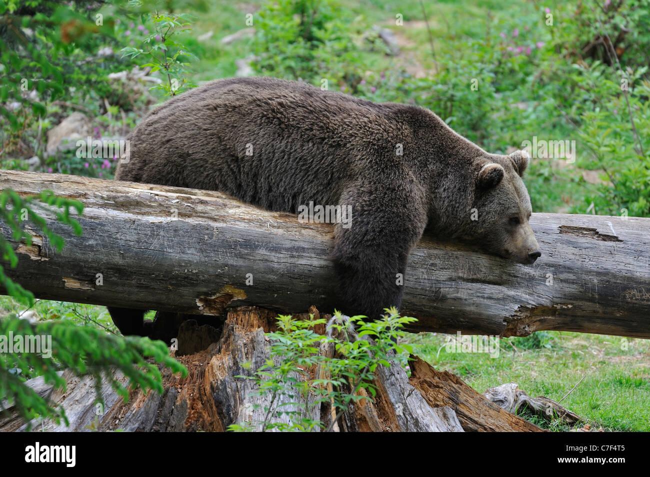 Eurasien paresseux ours brun (Ursus arctos) dormir sur tronc d'arbre tombé dans une forêt, parc national Photo Stock
