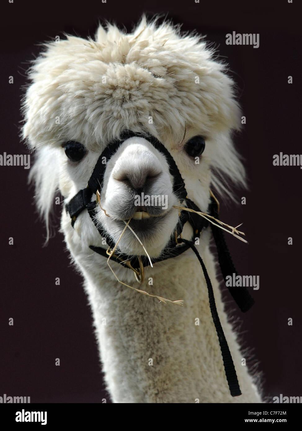 Un heureux souriant blanc jeune alpaca Photo Stock