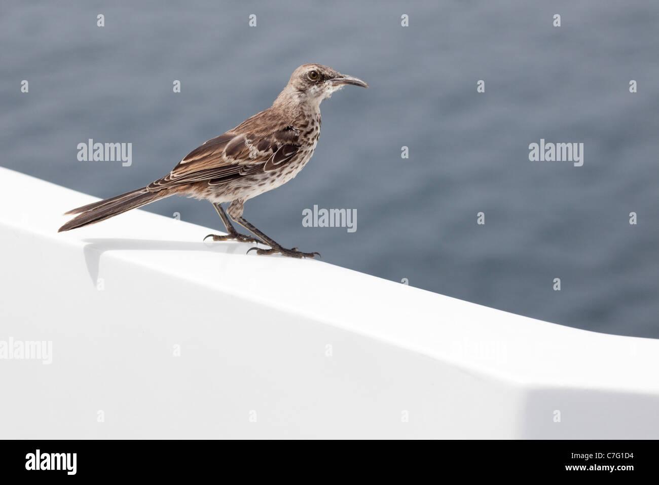 Espanola Mockingbird (Mimus macdonaldi) perché sur un yacht dans l'océan Pacifique Banque D'Images