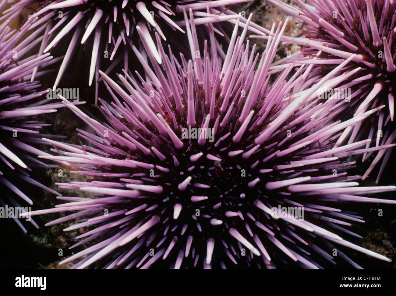Colonie de l'oursin violet (Strongylocentratus purpuratus) se nourrissant de varech. Channel Islands, Californie Banque D'Images