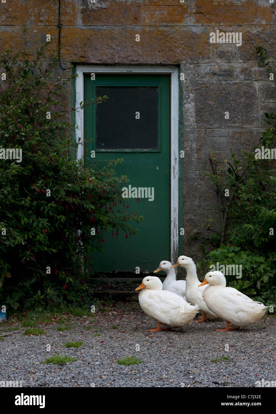 En attente d'oies à la porte arrière. Photo Stock