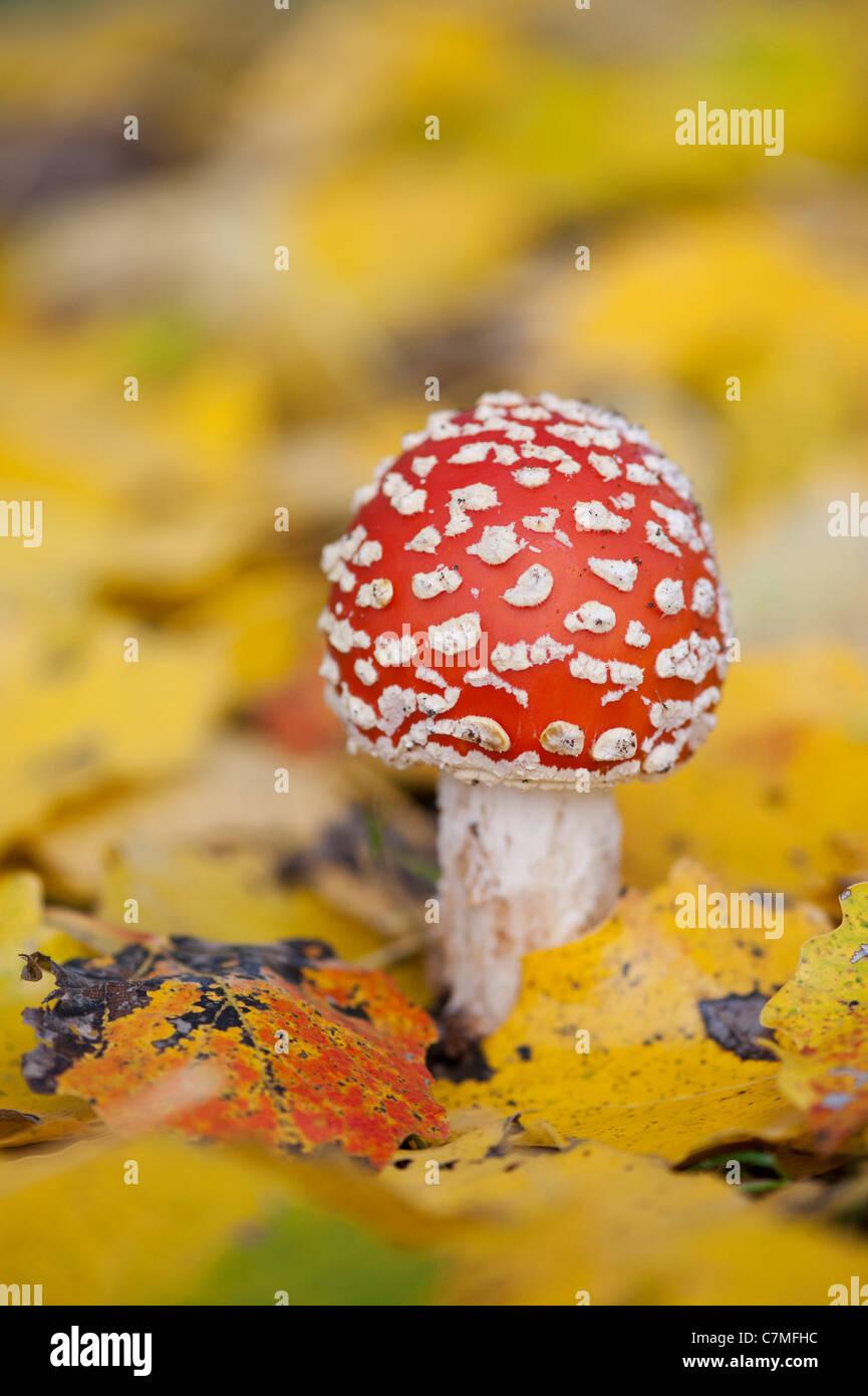 Amanita muscaria, voler des champignons agaric tombé entre les feuilles d'or dans un bois. Banque D'Images