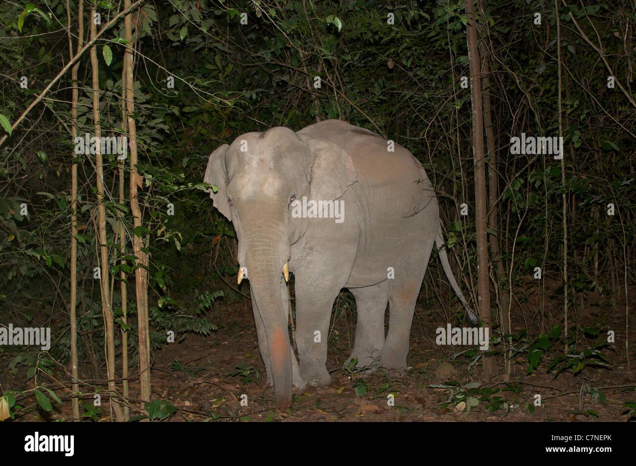 Les juvéniles mâles sauvages éléphant d'Asie, Elephas maximus, pris dans un piège camer Photo Stock
