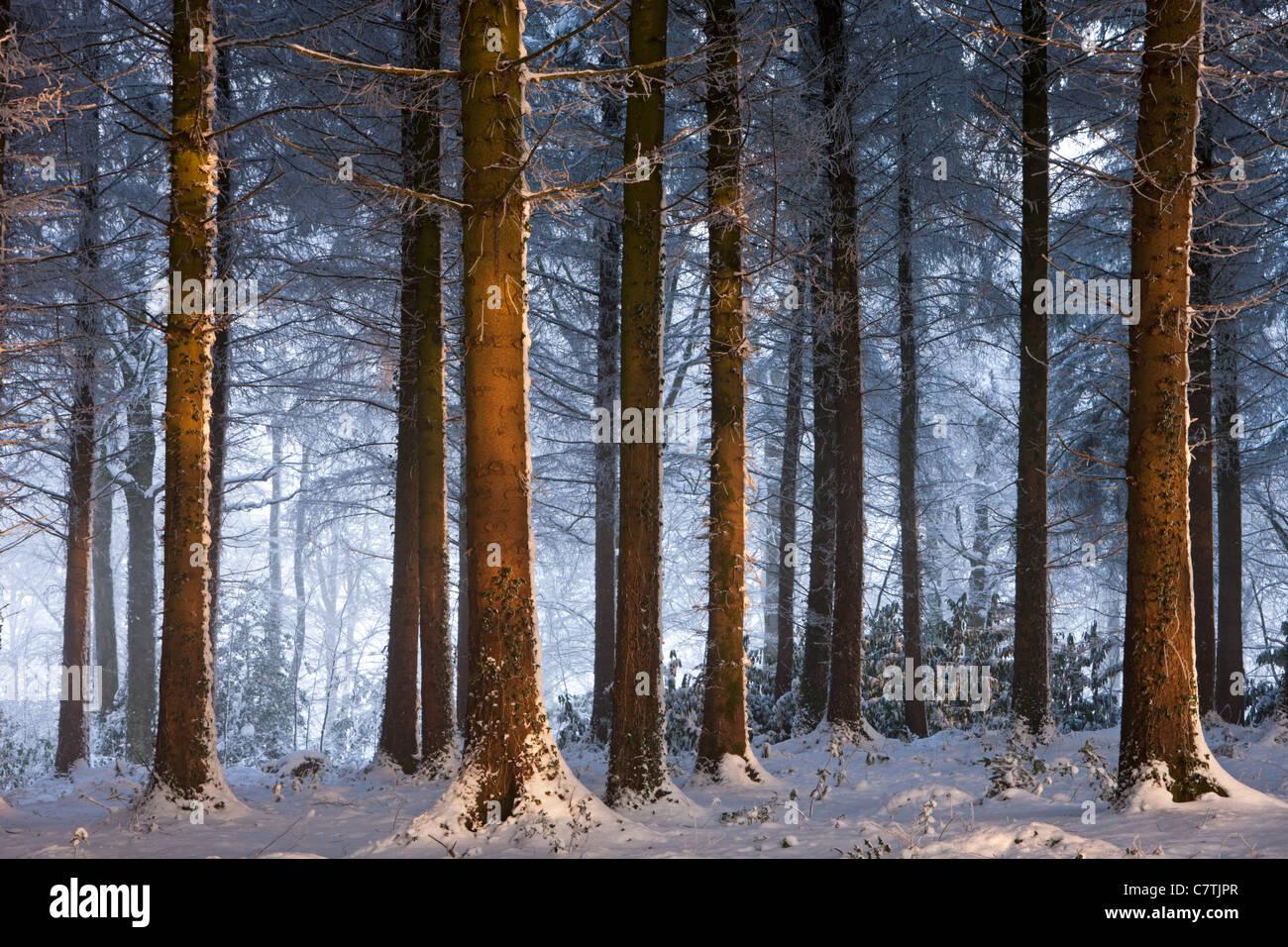 Hiver neige couverts de forêts, bois Morchard, Devon, Angleterre. Décembre 2010. Photo Stock