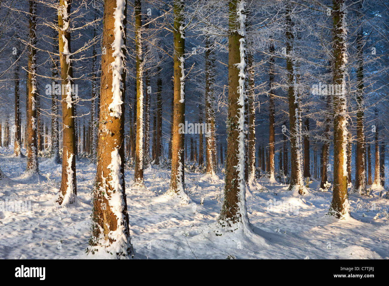 Les arbres givrés de givre de l'hiver neigeux dans un bois, bois Morchard, Devon, Angleterre. Hiver (décembre) Photo Stock