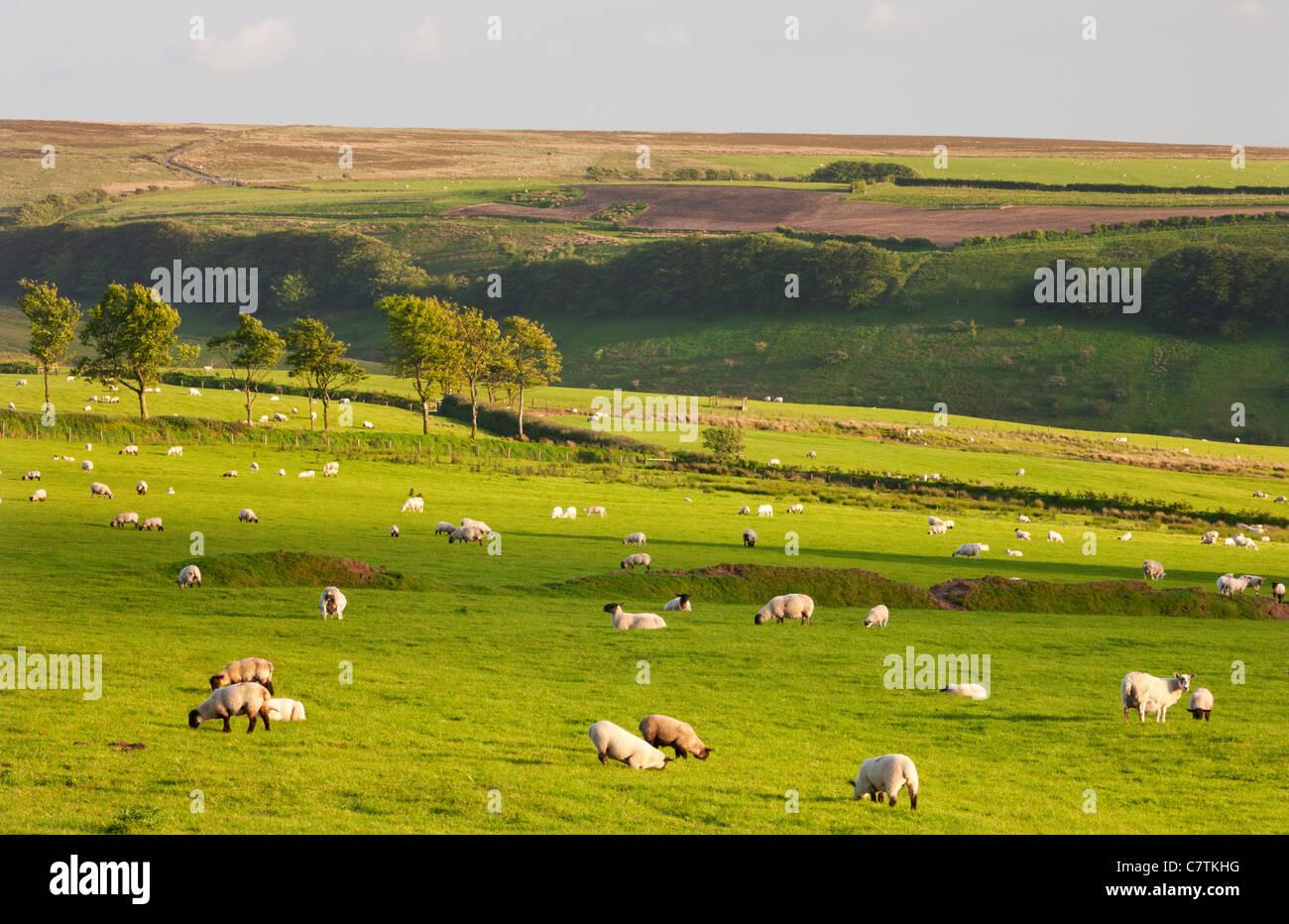 Des moutons paissant sur les terres agricoles dans la région de Somerset, Exmoor Photo Stock