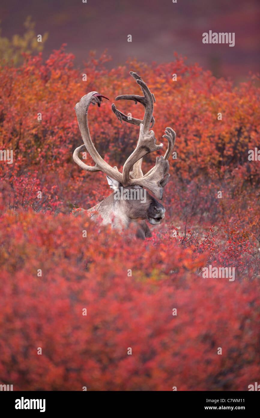 Caribou mâle, le parc national Denali, en Alaska. Banque D'Images