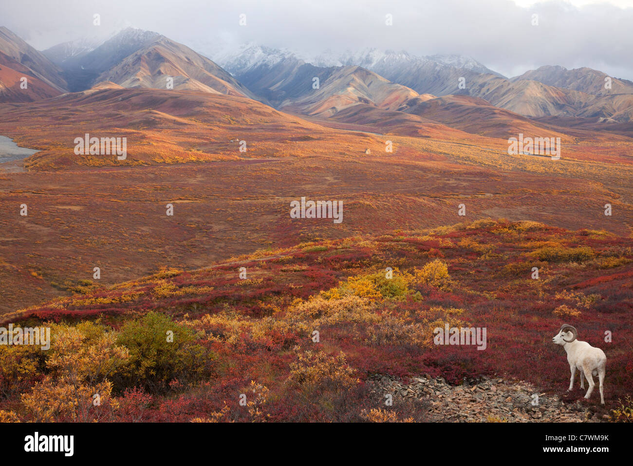 Les mouflons de Dall, Polychrome Pass, parc national Denali, en Alaska. Photo Stock