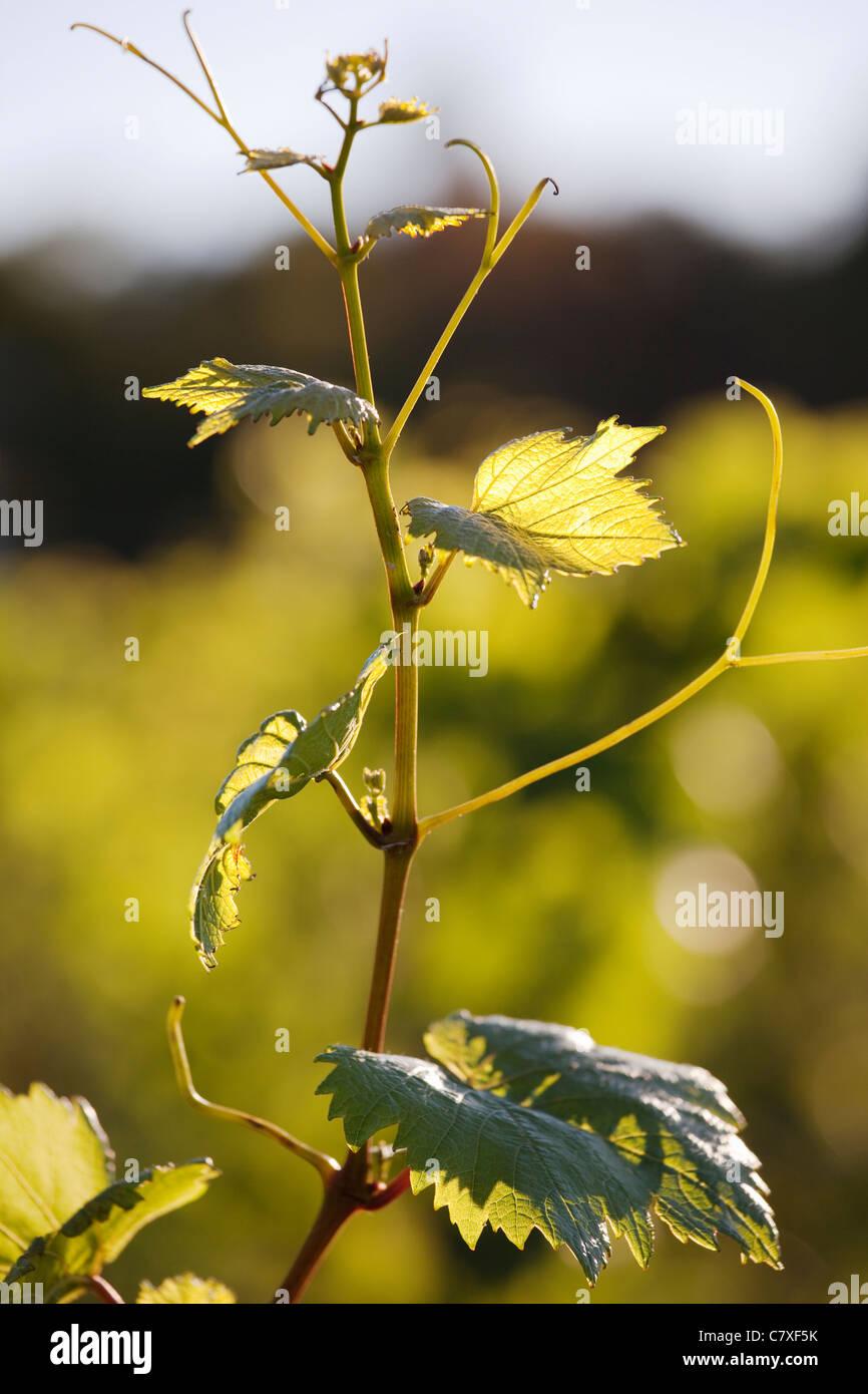 Canada, Ontario, région du Niagara, la vrille de raisin Photo Stock