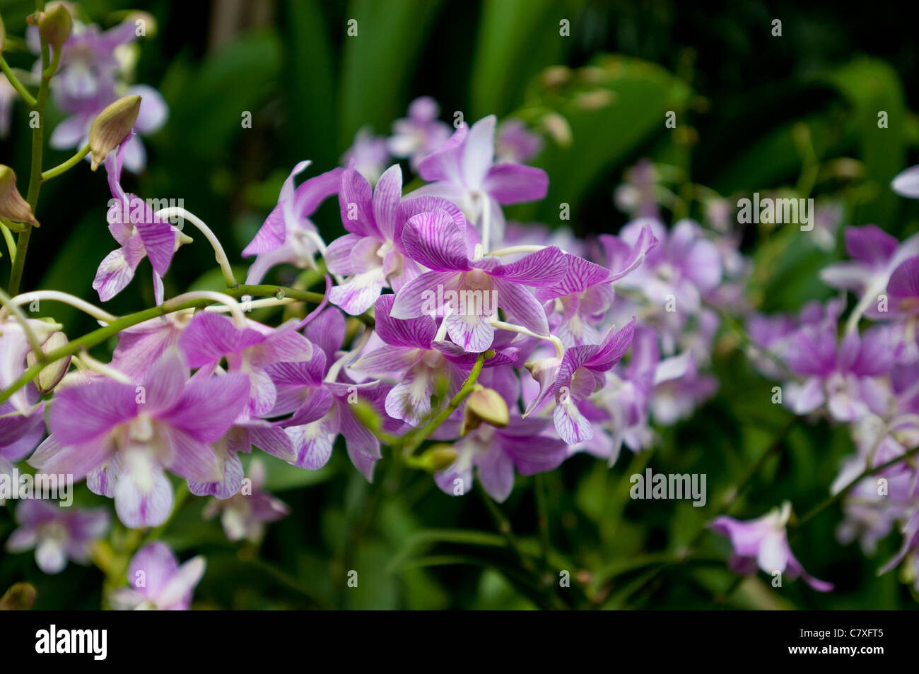 De l\'orchidée Cattleya famille dans le Jardin des Orchidées de ...