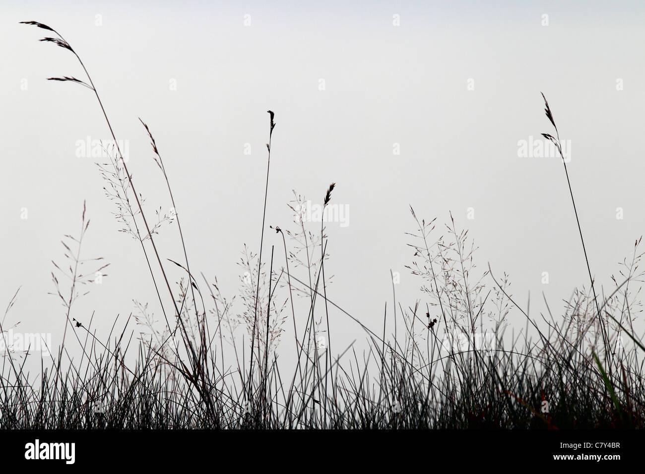Brins d'herbe contre le brouillard sur le rivage, Downeast Maine Banque D'Images