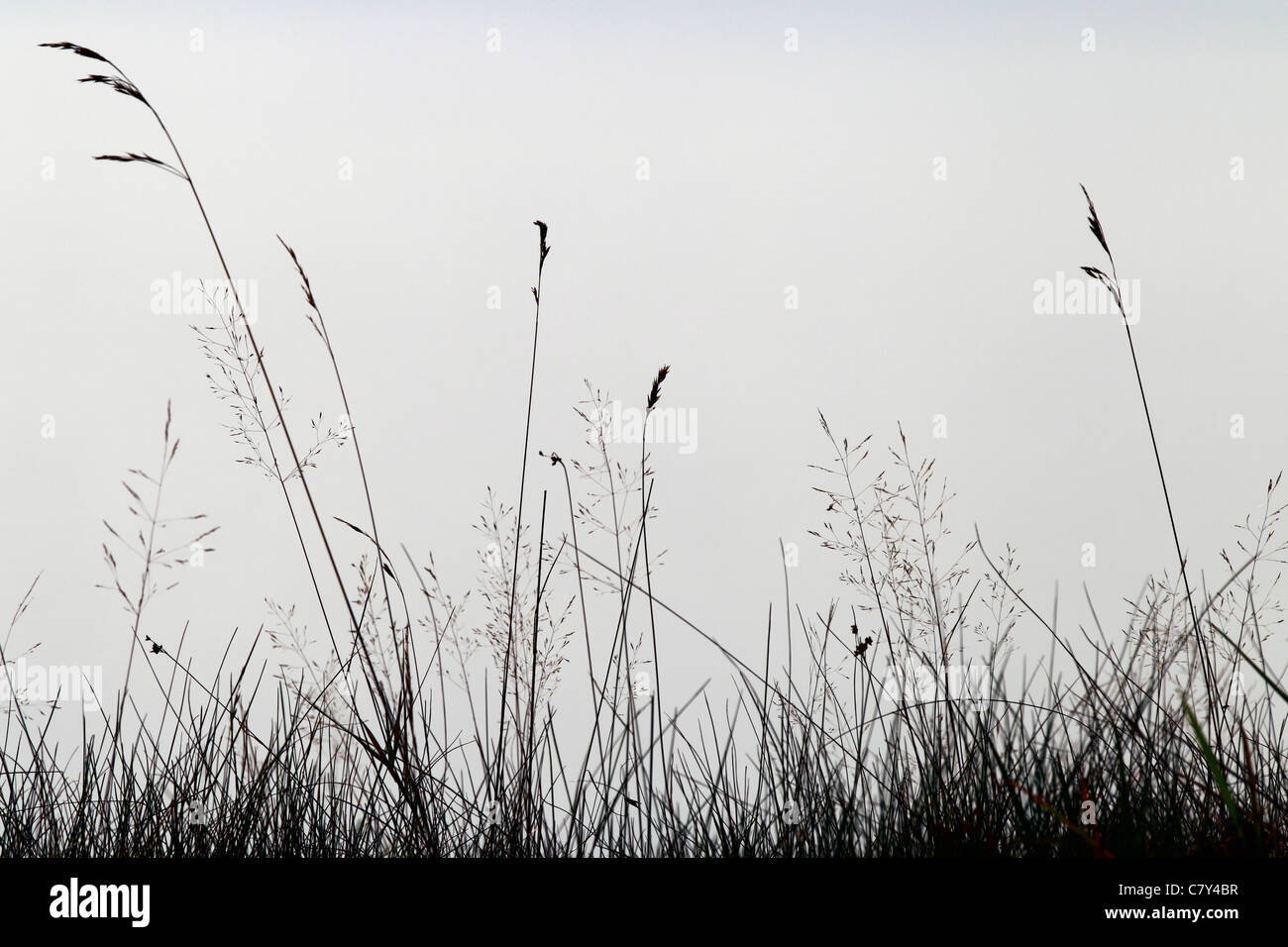 Brins d'herbe contre le brouillard sur le rivage, Downeast Maine Photo Stock