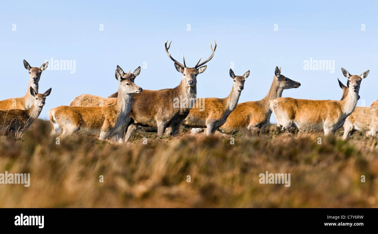 Red Deer stag avec hinds au cours de saison du rut Photo Stock