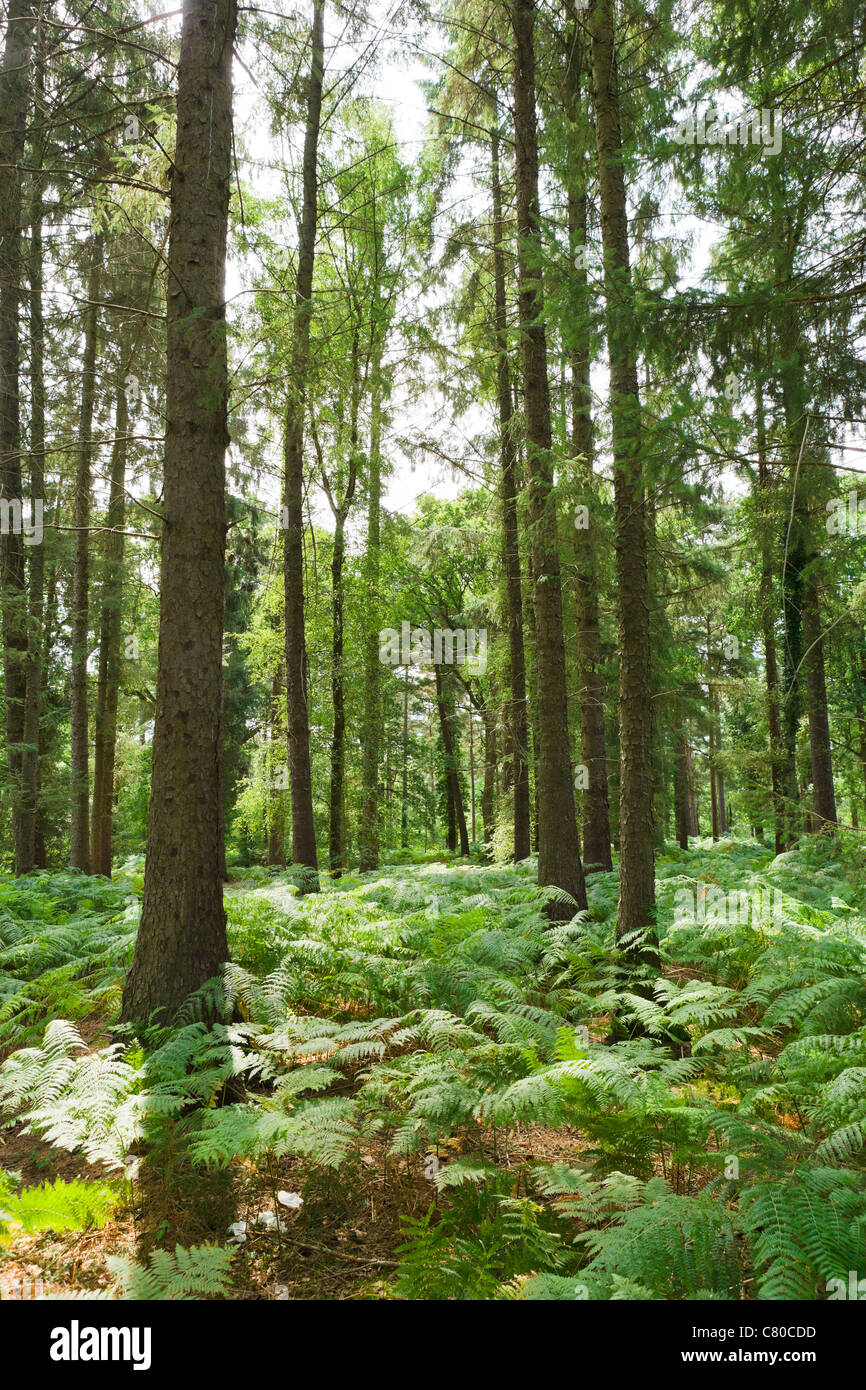 Les bois à Lucy Hill dans le New Forest, Hampshire, England, UK Photo Stock