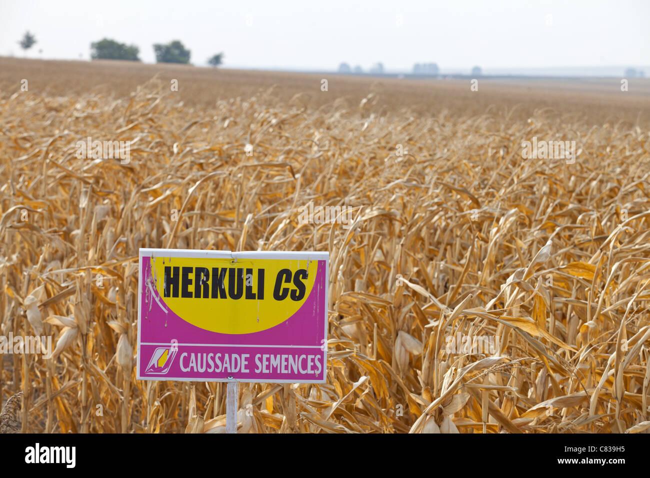 Les cultures génétiquement modifiées en Roumanie Photo Stock