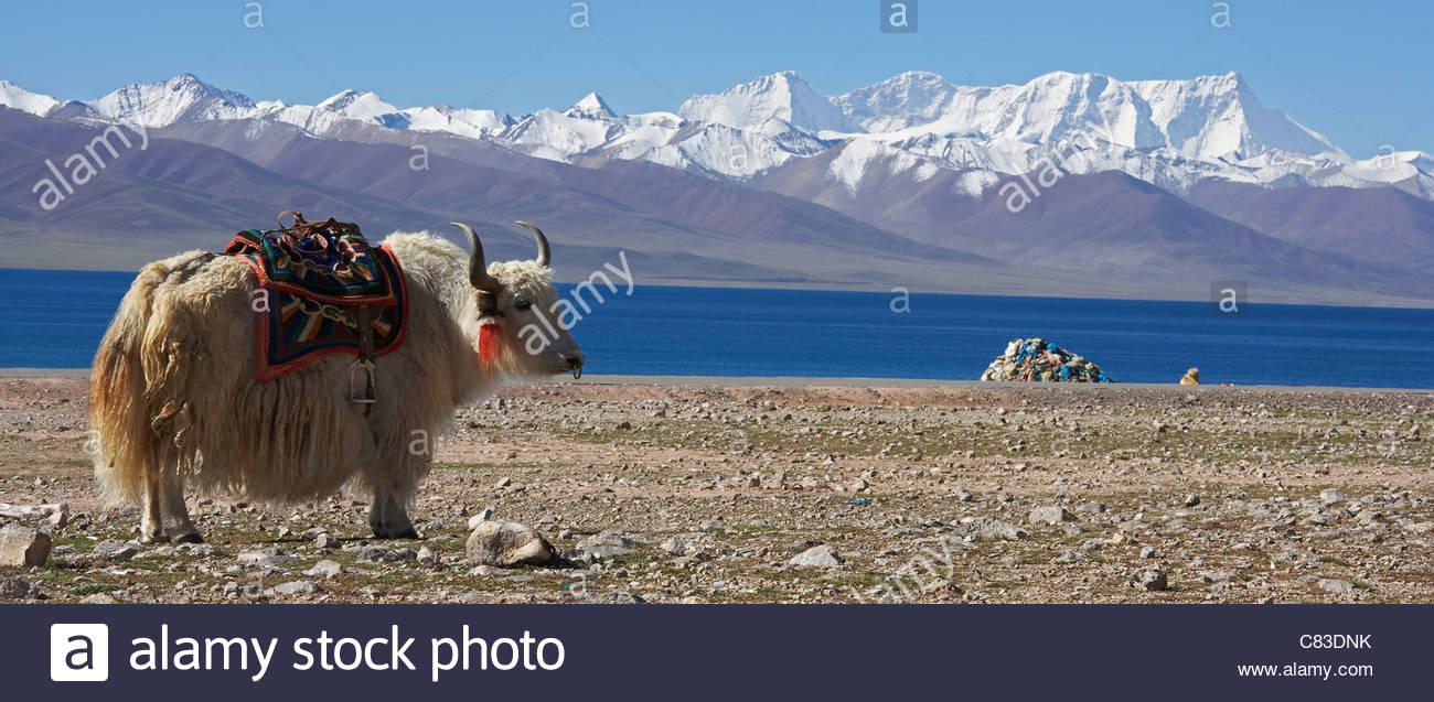 Yak blanc le pâturage dans le paysage rocheux Photo Stock
