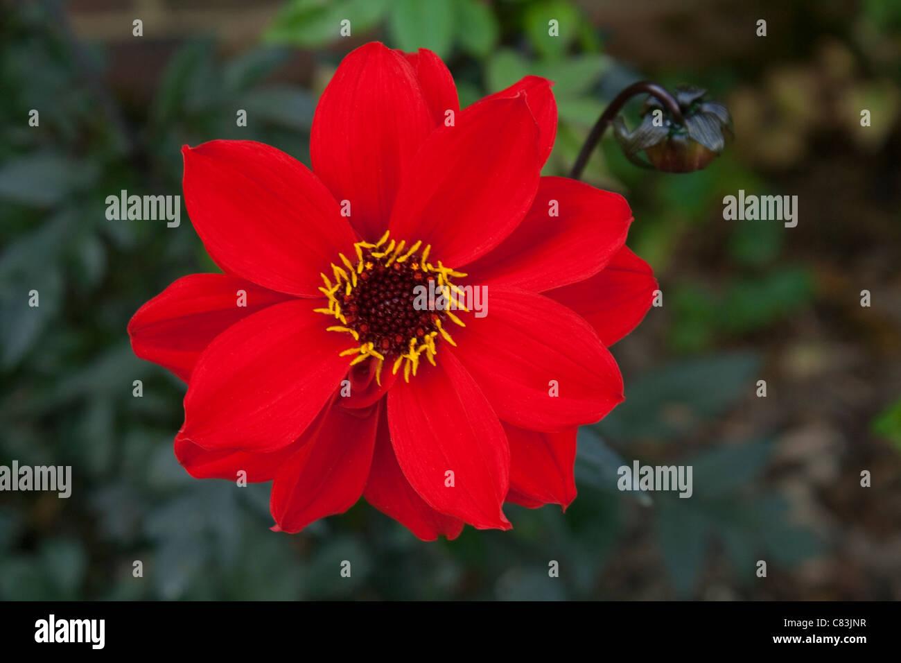 Dahlia Rouge Avec Feuillage Marron Une Tres Belle Fleur De Taille