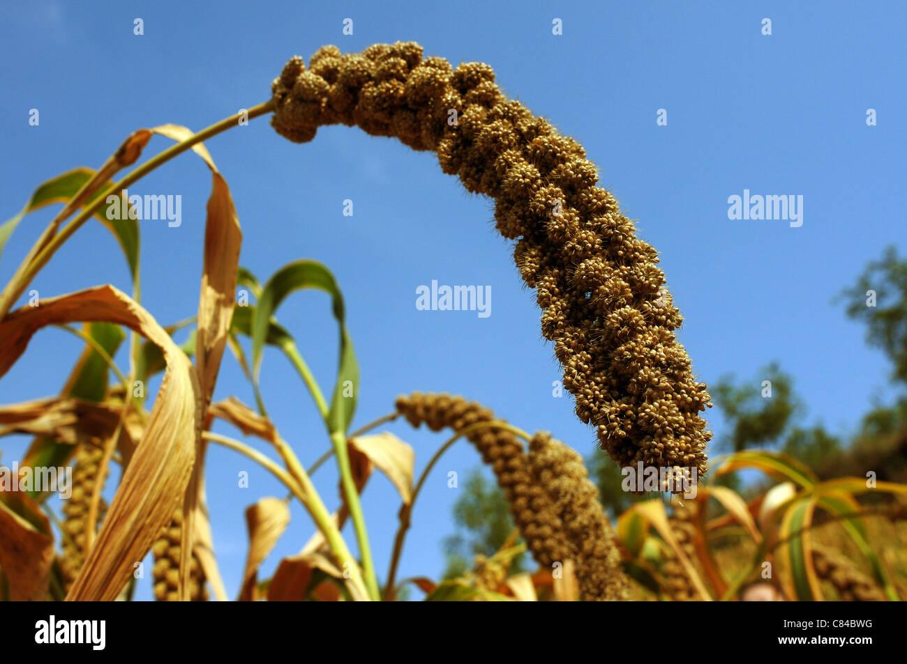 Venu du mil dans les champs en automne Photo Stock