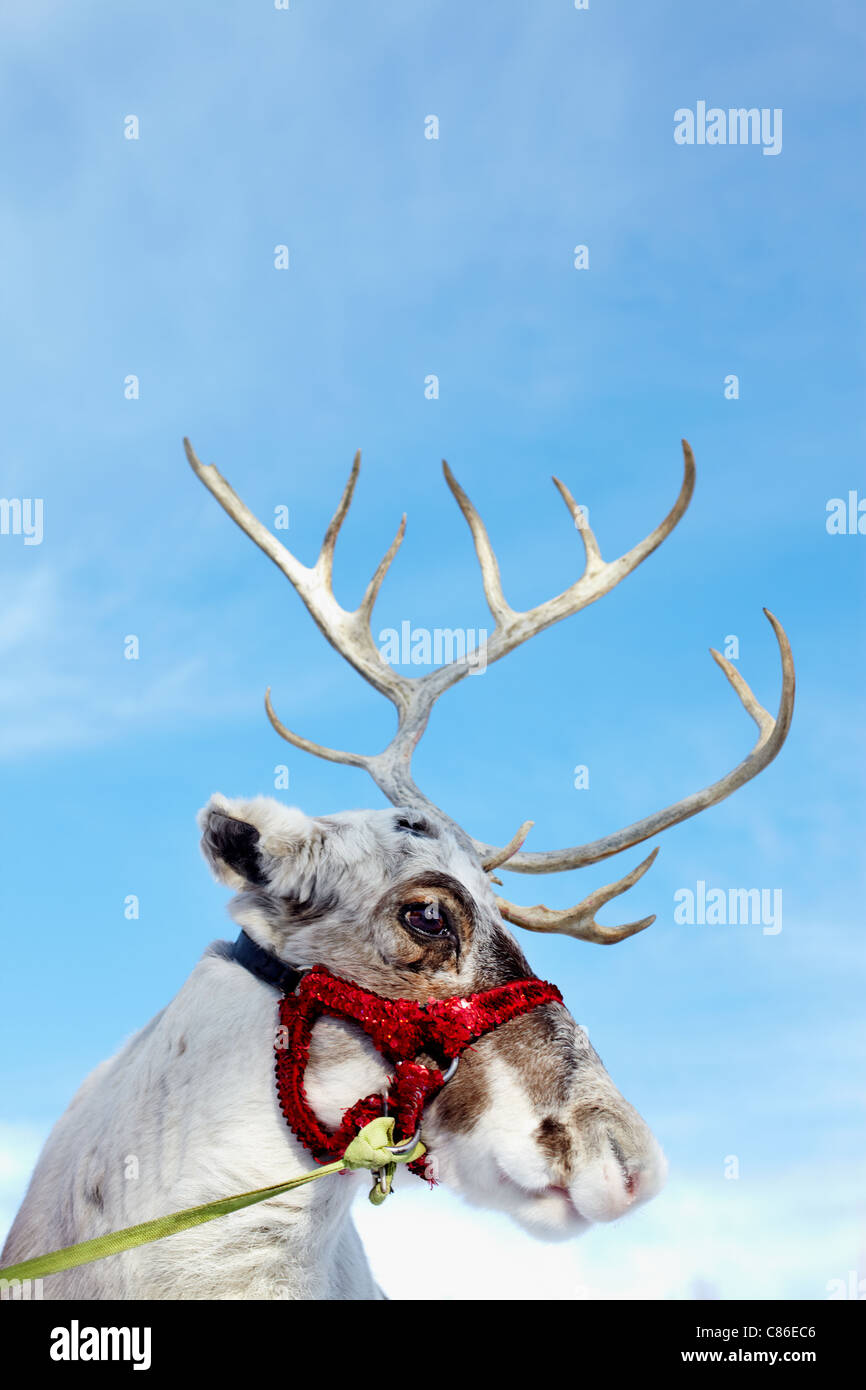 Vue latérale de la tête du renne dans le faisceau Banque D'Images