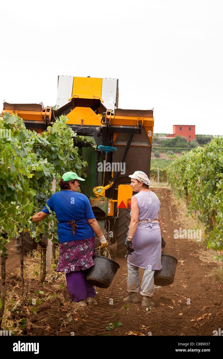 Cueilleurs de la main à la suite de la récolte de raisins de la récolteuse mécanique à Photo Stock