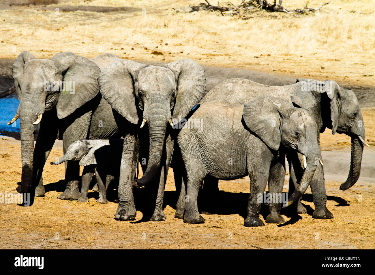 Famille d'éléphants, le parc national de Hwange, Zimbabwe Photo Stock