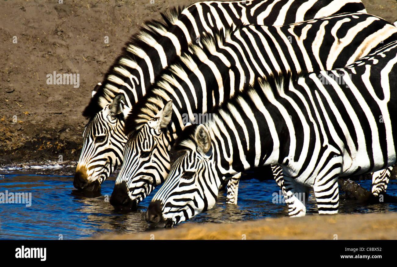 Les zèbres boire à l'eau dans le parc national de Hwange, Zimbabwe Photo Stock