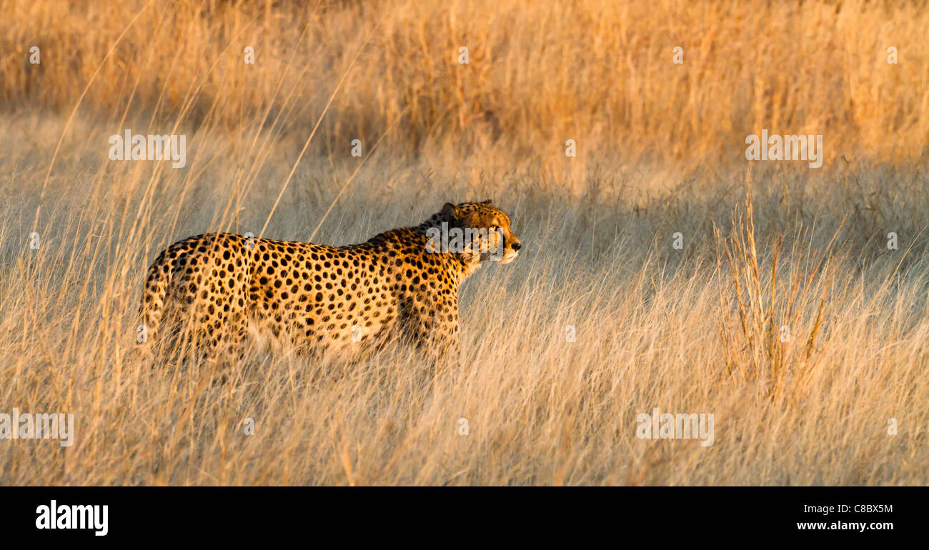 Cheetah dans le parc national de Hwange, Zimbabwe Photo Stock