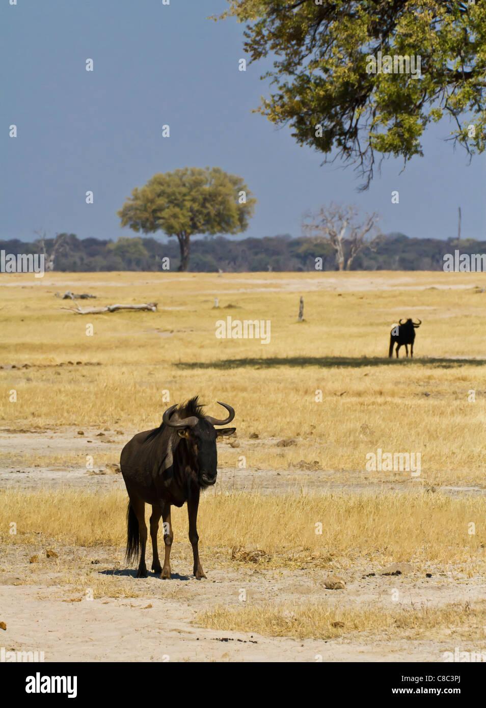 Des gnous dans le parc national de Hwange, Zimbabwe Photo Stock