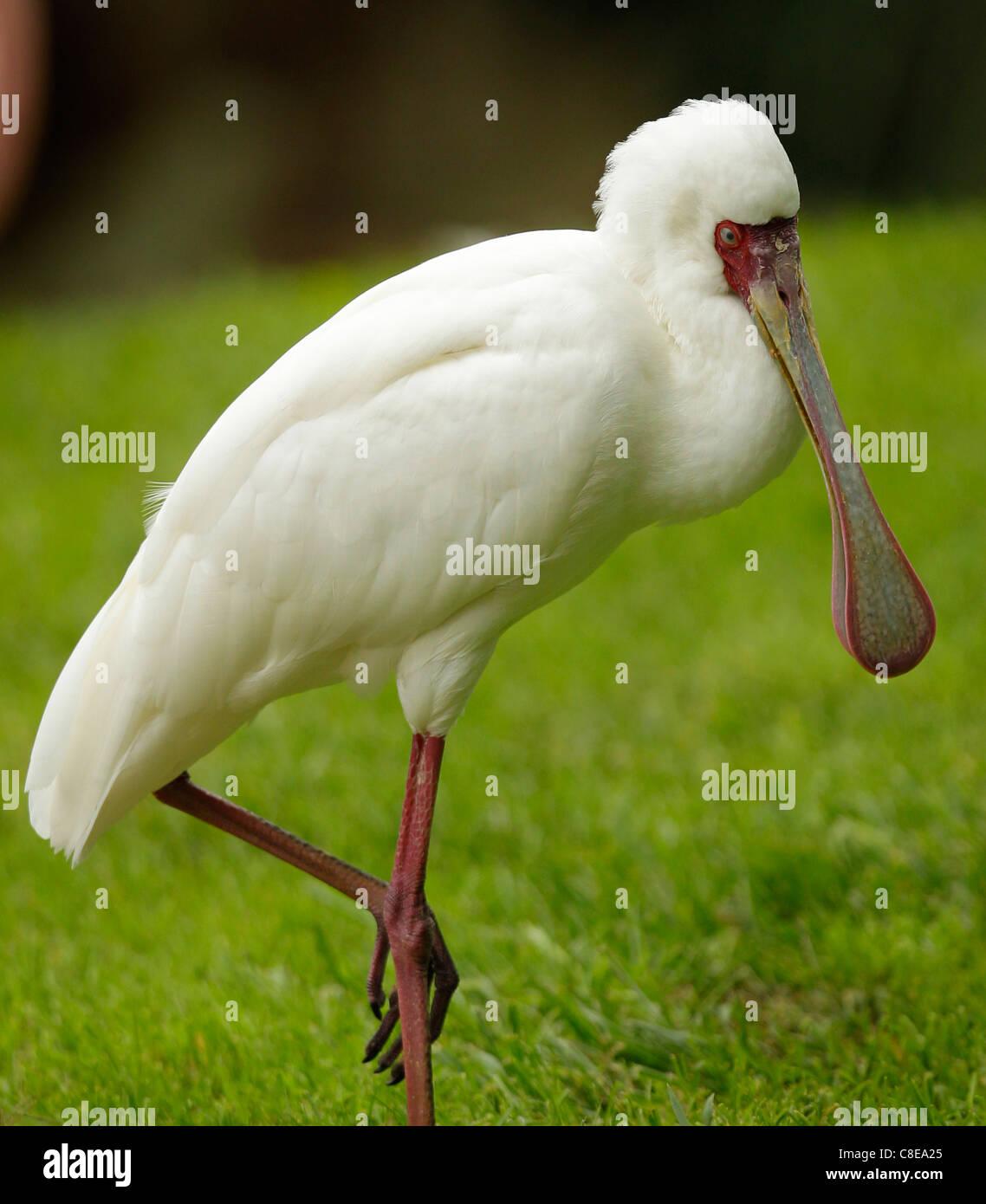 Spatule d'Afrique jambe cuillère bandes plume d'oiseau Photo Stock