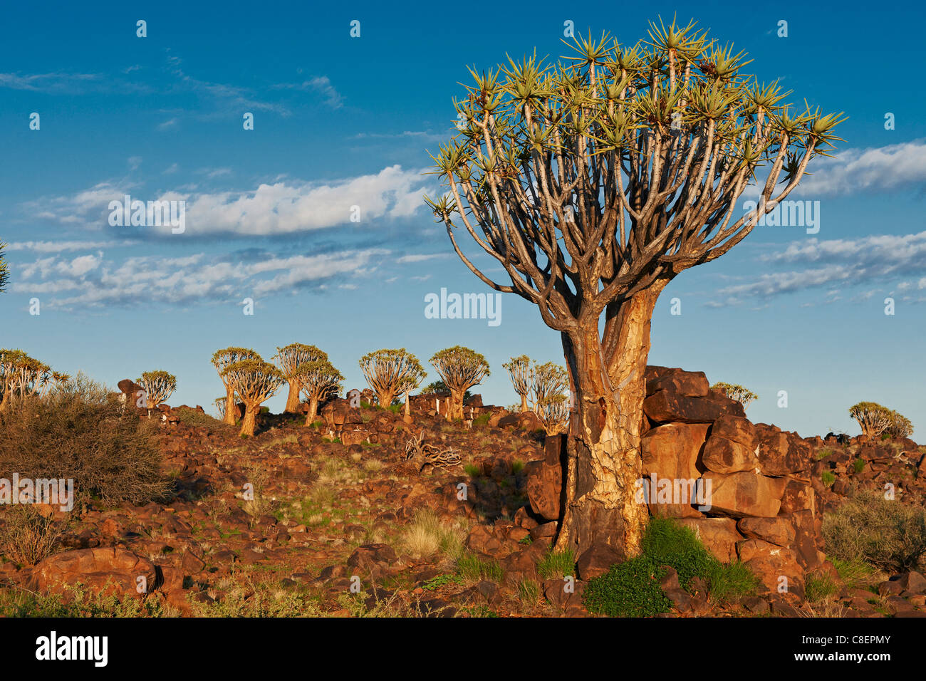 Quiver Tree Forest, L'Aloe dichotoma, ferme Garas, Mesosaurus Fossil Site, Keetmanshoop, Namibie, Afrique Photo Stock