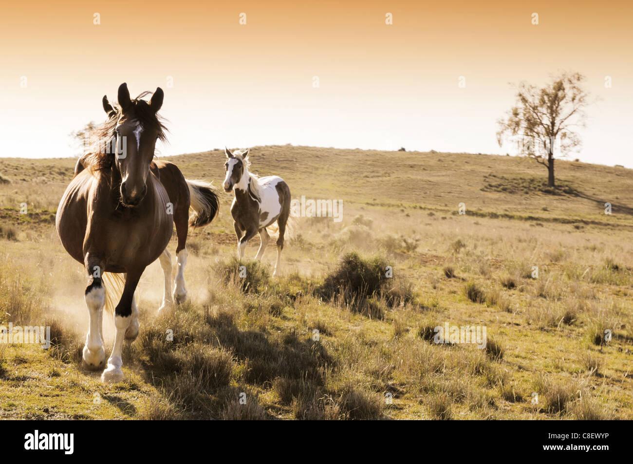 Chevaux stock sur une station de bovins australiens au lever du soleil Photo Stock