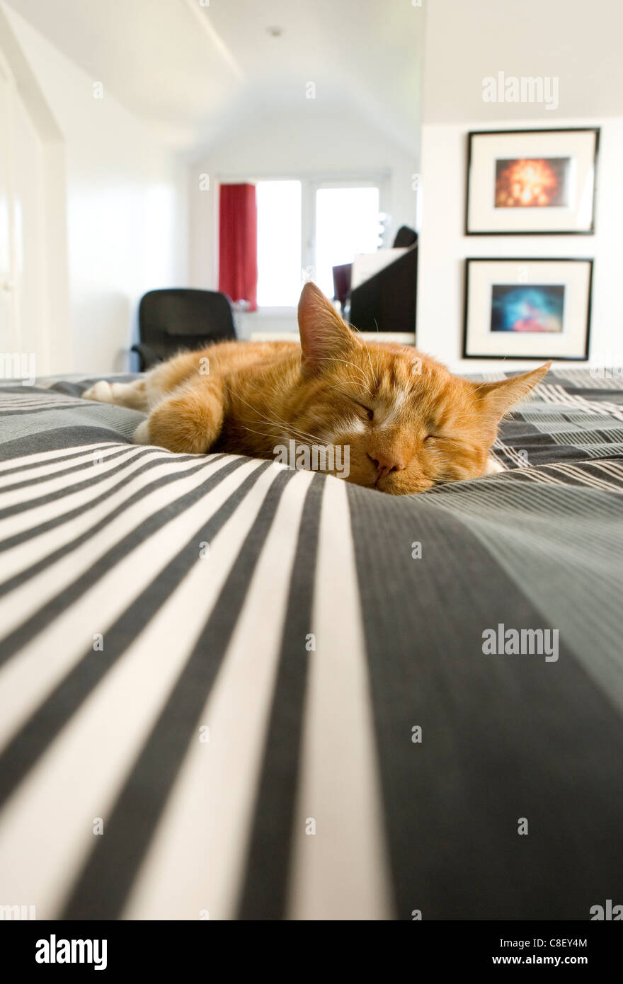 Chat domestique adulte seul sur un lit de pose UK Photo Stock