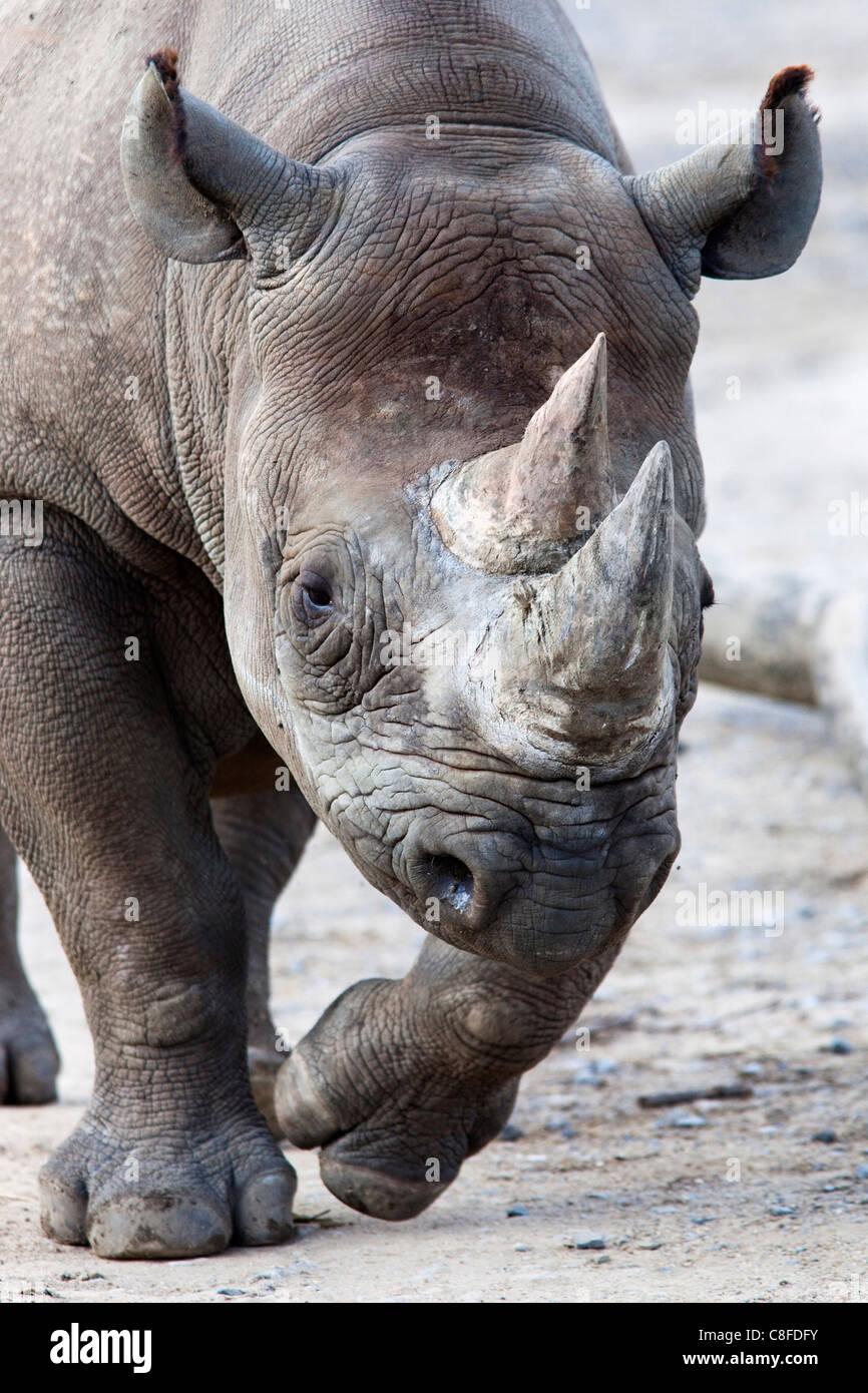 Les rhinocéros noirs, Afrique du Sud Photo Stock