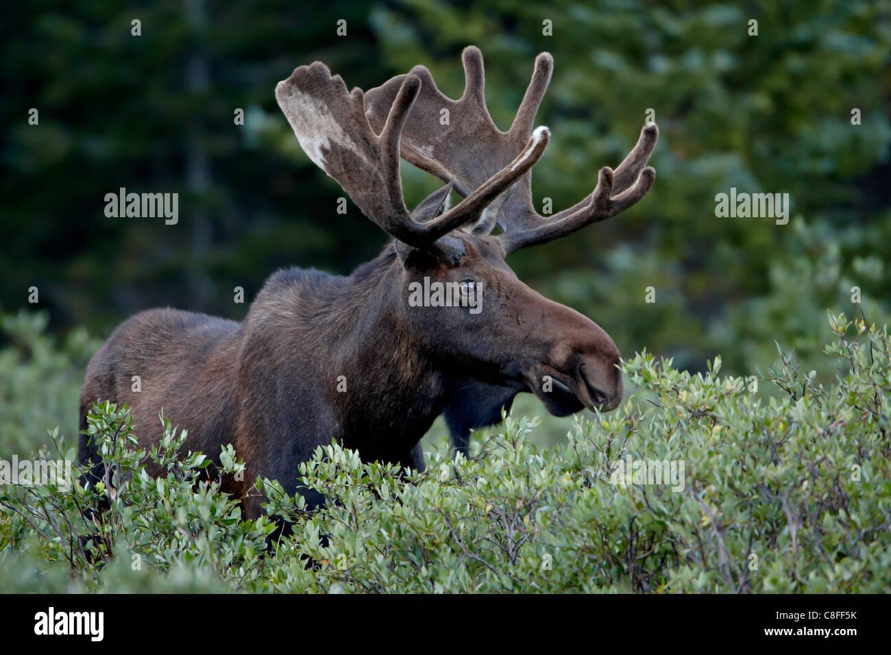 Orignal (Alces alces) en velours, Roosevelt National Forest, Colorado, États-Unis d'Amérique Banque D'Images