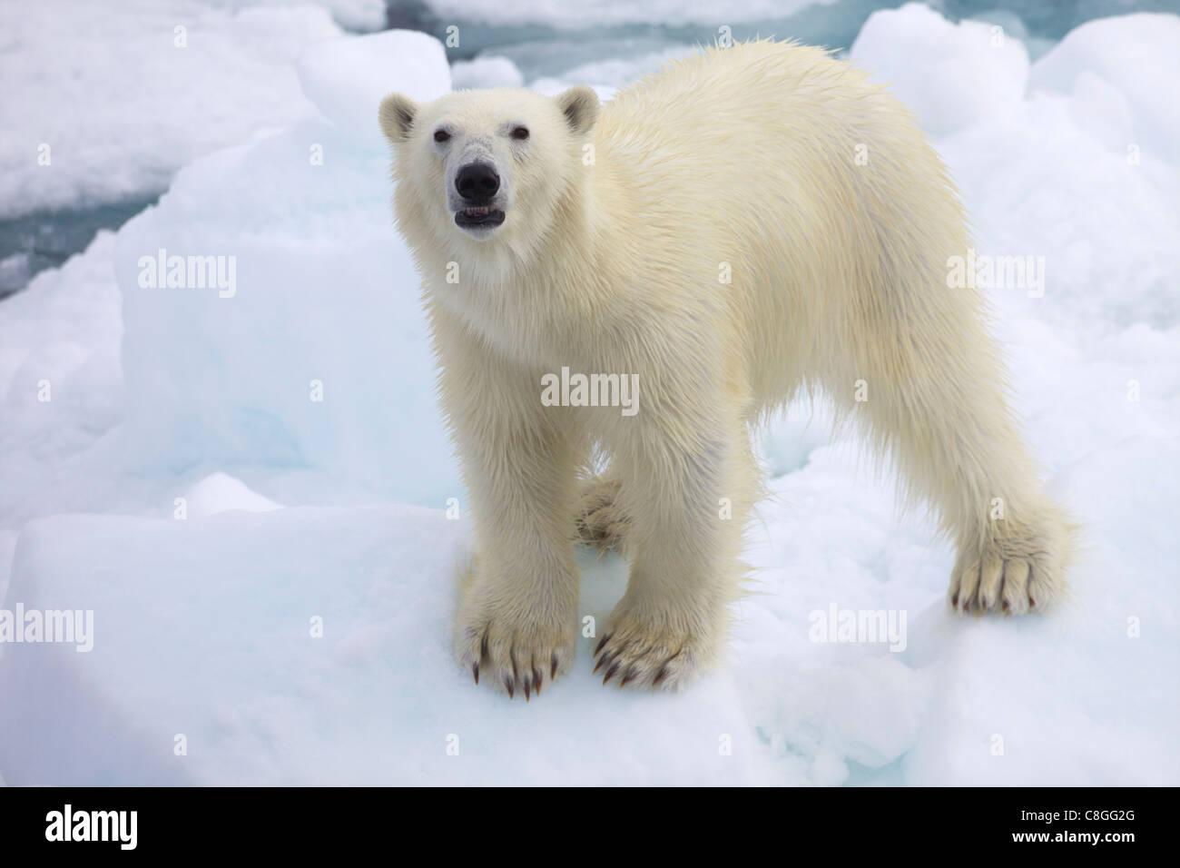 L'ours polaire sur la glace de mer au large des côtes du Spitzberg, Svalbard, Norvège, Scandinavie Photo Stock