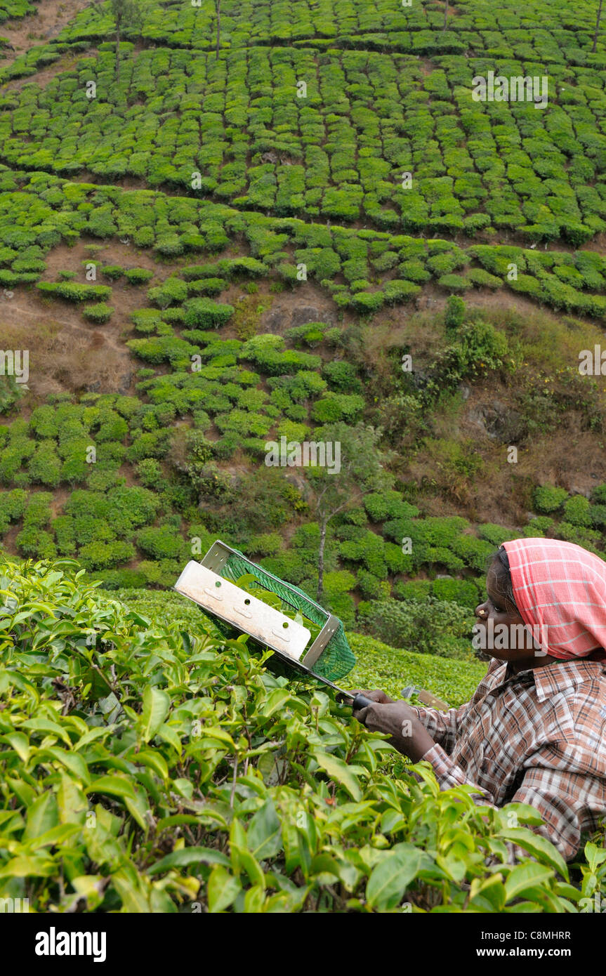 Les cueilleurs de thé à plantation en contreforts près de Vandiperiyar, District Idukki, Kerala, Photo Stock