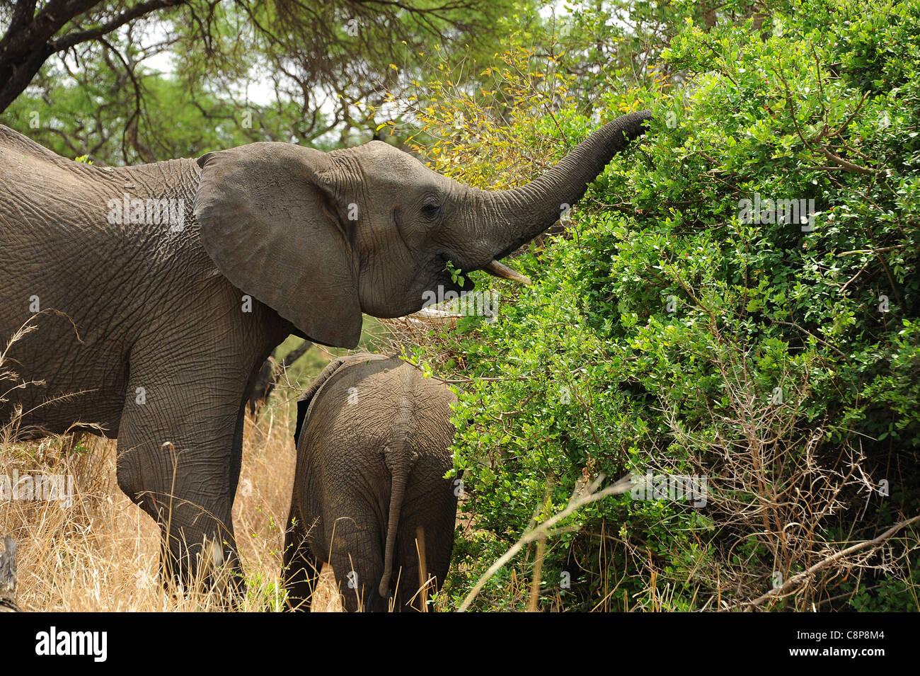 Les éléphants dans Imire Safari Ranch, Zimbabwe, Afrique du Sud Photo Stock