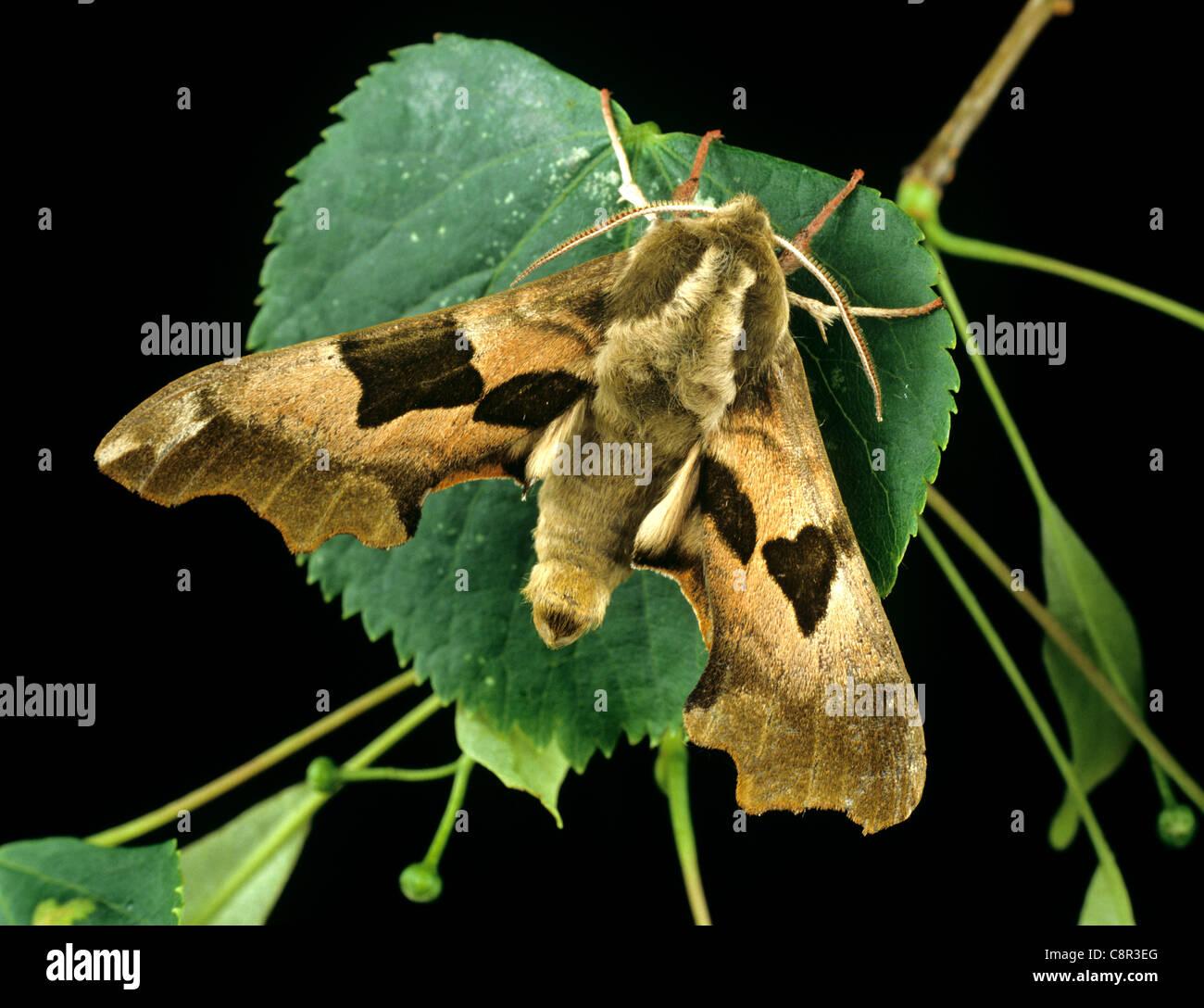 Mimas tiliae Lime (sphynx) adulte papillon sur une feuille de lime Photo Stock