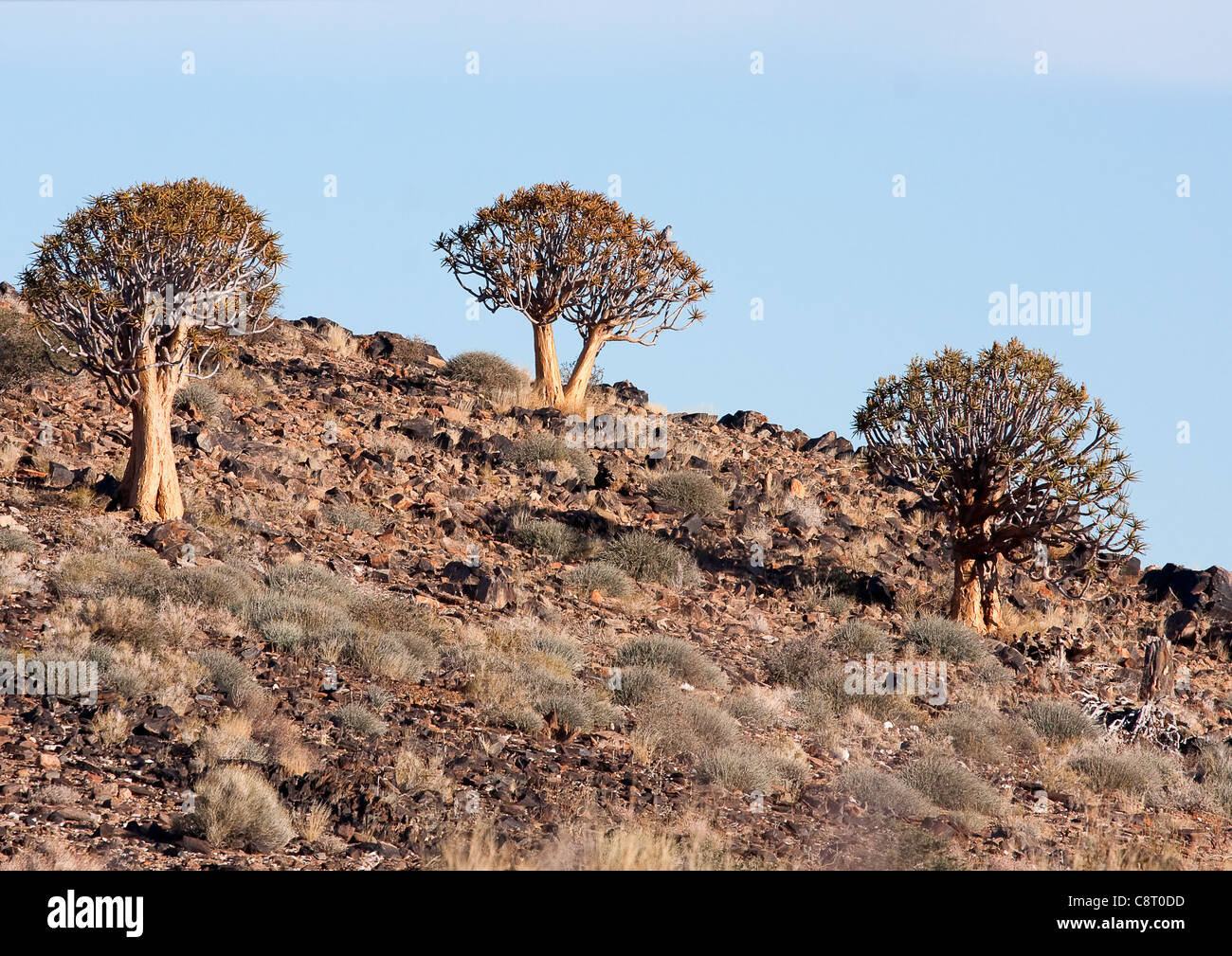 Aloe dichotoma sur colline aride Photo Stock