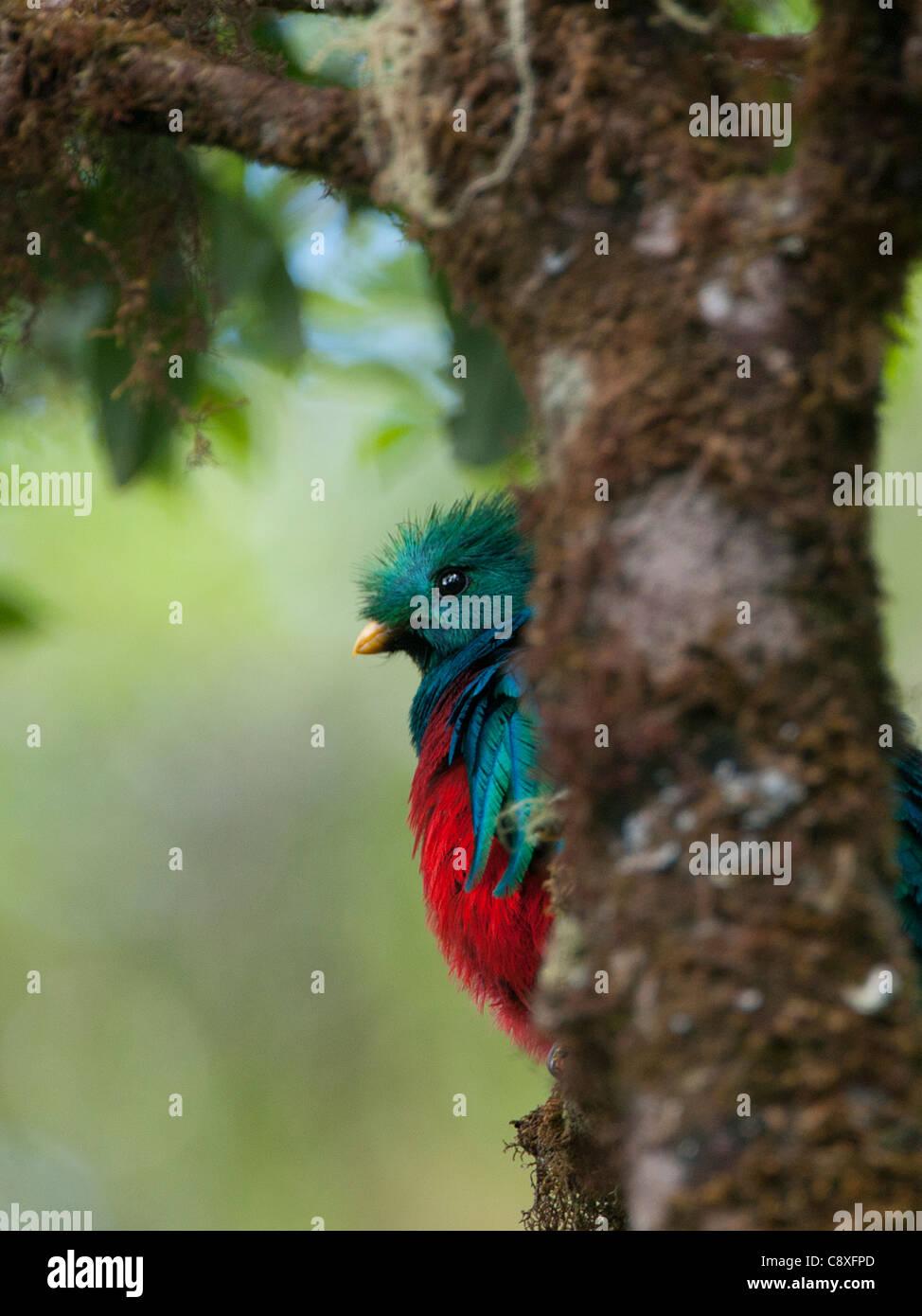 Quetzal resplendissant Pharomachrus mocinno Hautes terres centrales Costa Rica Photo Stock