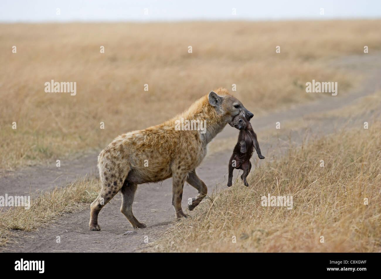 L'Hyène tachetée Crocuta crocuta avec jeune chiot le Masai Mara au Kenya Photo Stock