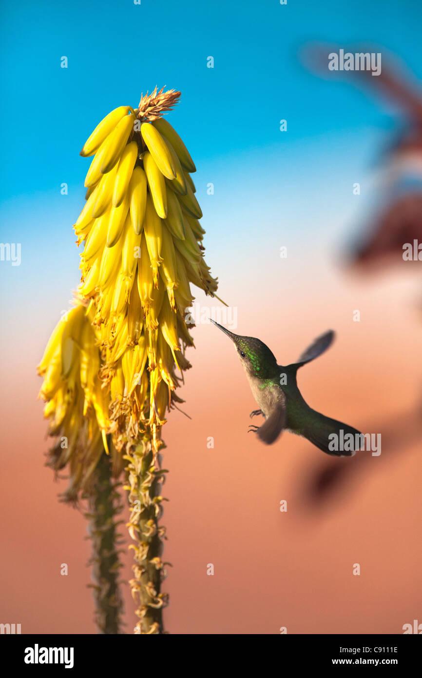 Les Pays-Bas, Oranjestad, Saint-Eustache, île des Antilles néerlandaises. Antillean Crested Hummingbird. Des femmes. Banque D'Images