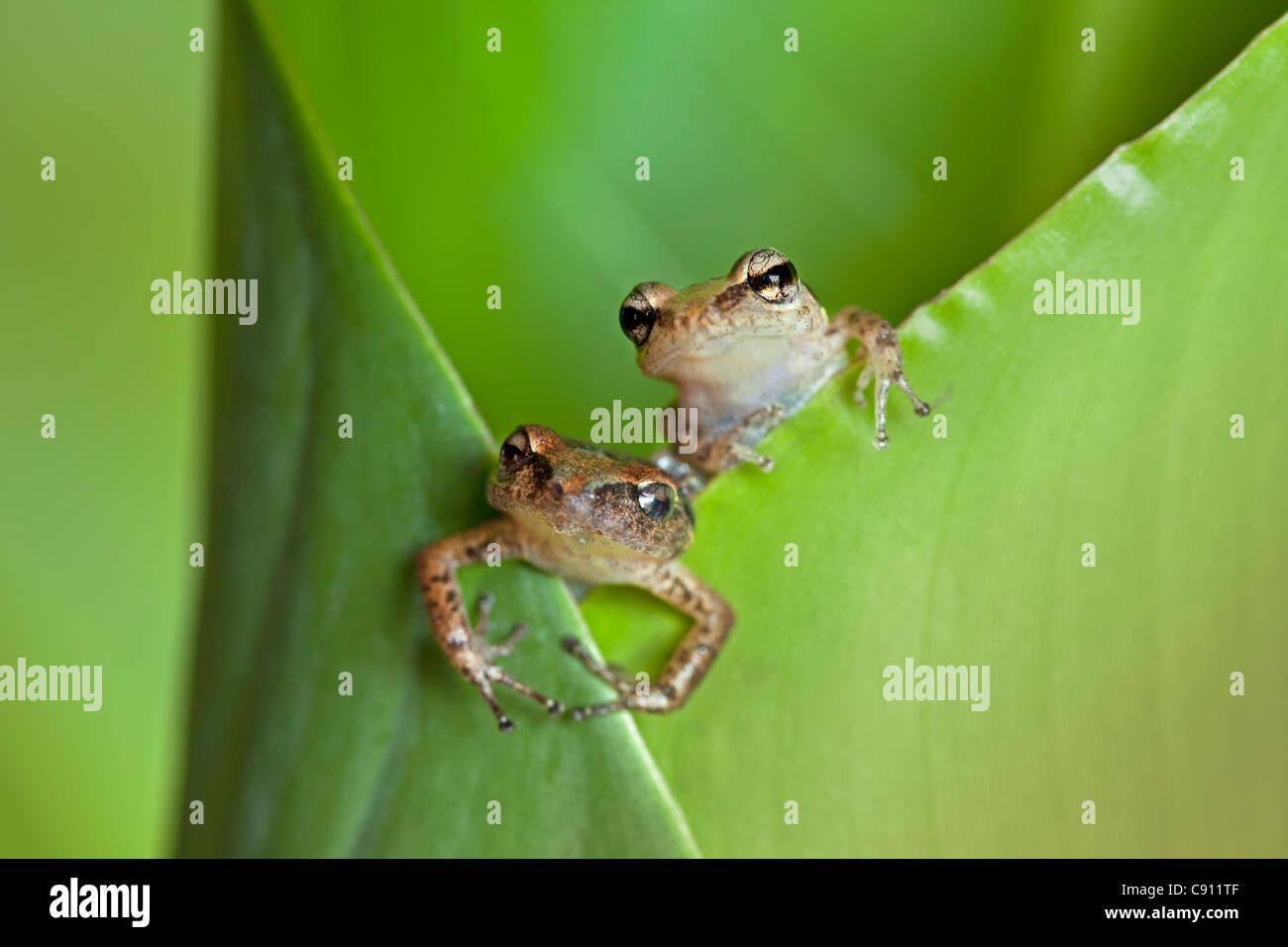 Pays-bas, La Serena, l'île de Saba, Antilles néerlandaises. Rainette sifflement ( Eleutherodactylus johnstonei ) Banque D'Images