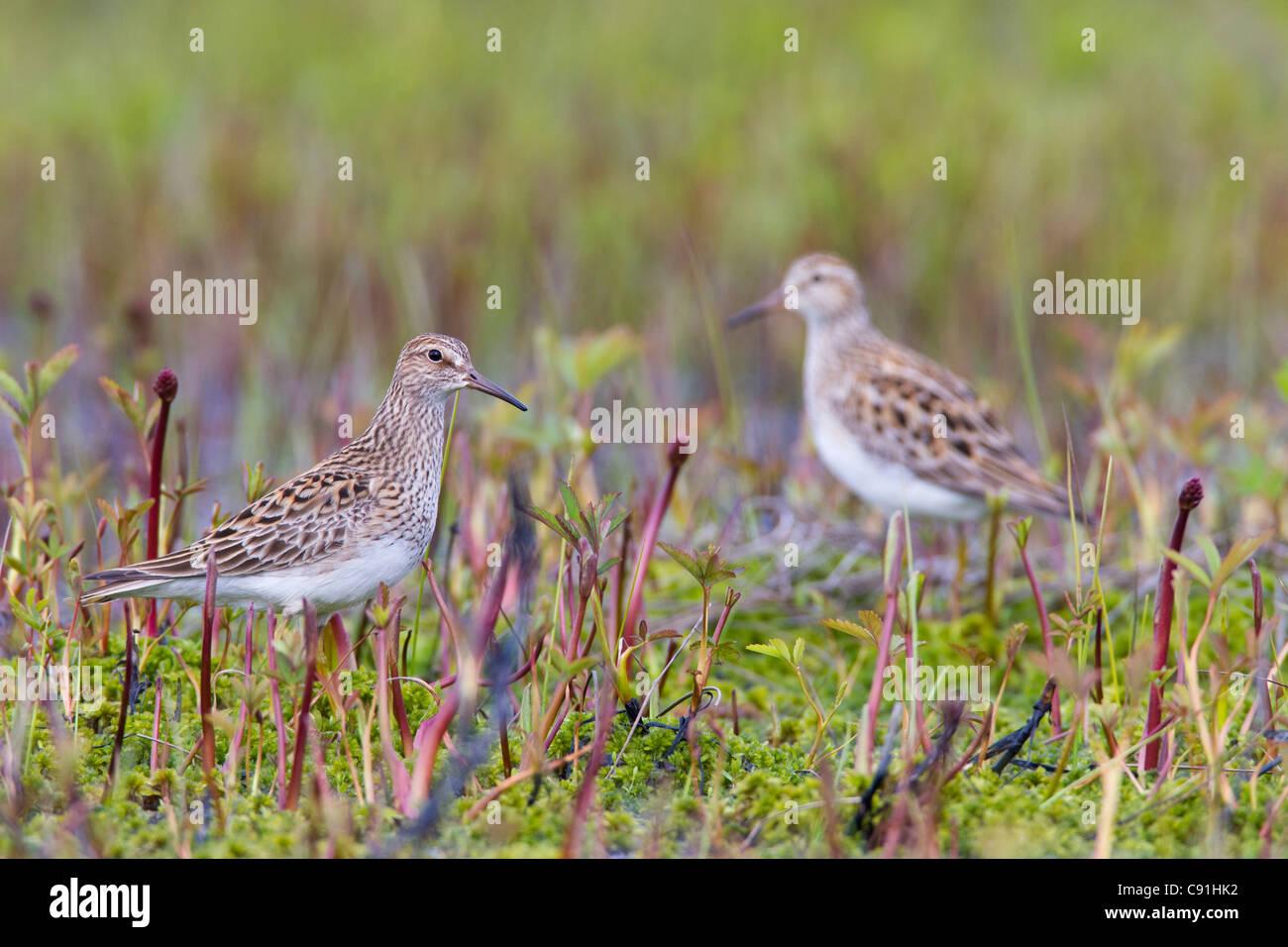Deux poitrine cendrée entre quête de végétation pendant la migration du printemps, Delta de Photo Stock