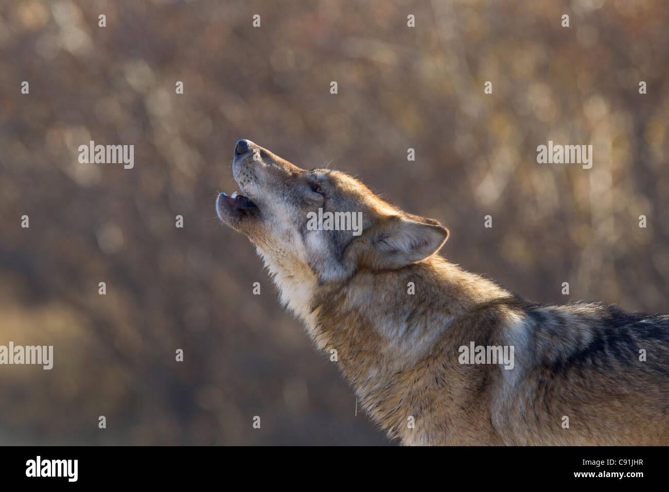 Gray Wolf howling, Parc National de Denal, l'intérieur de l'Alaska, l'automne Photo Stock